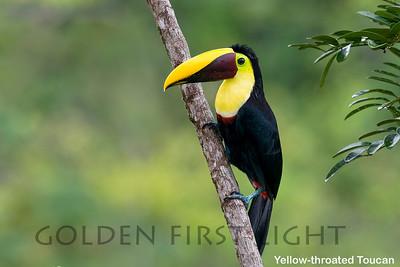 Yellow-throated Toucan, Costa Rica