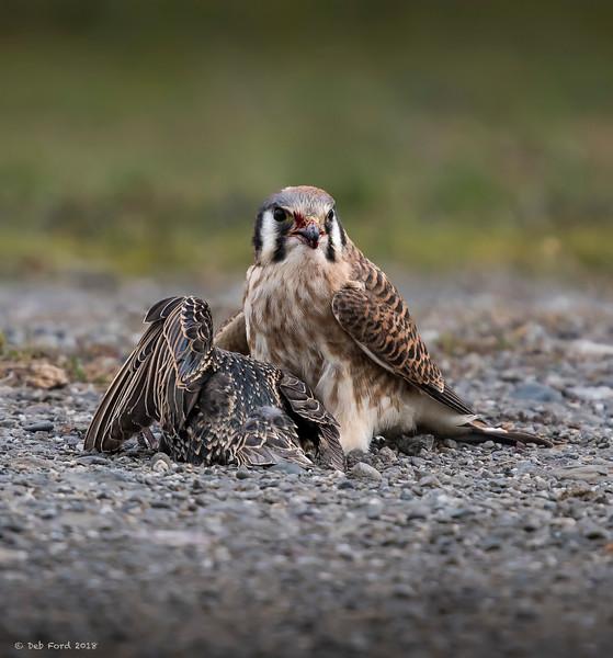 American Kestrel taking down a European Starling