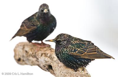 Starlings, Mynas and Bulbul
