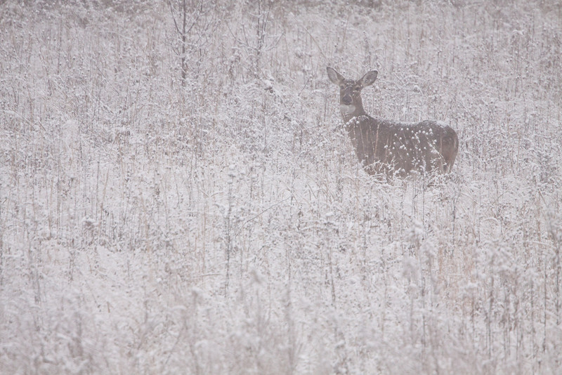 White -tailed doe in snow storm.