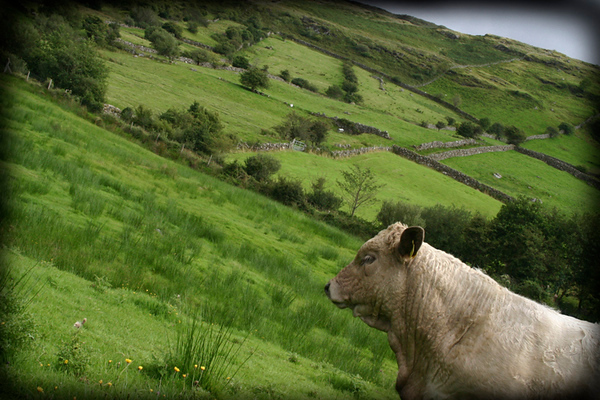 Doras Cow, County Galway, Ireland