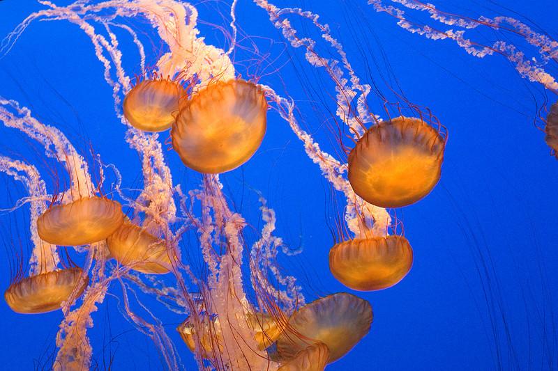Black Sea Nettle Jellyfish