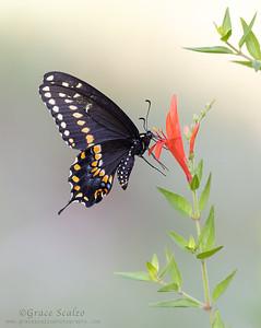 Black Swallowtail Butterflies