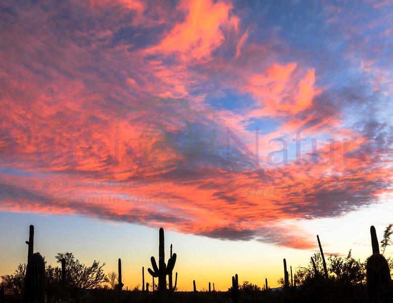 The Mighty Saguaro