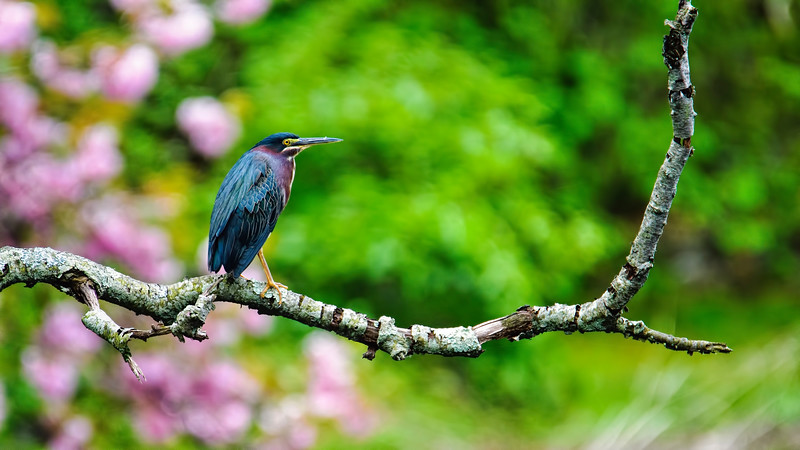 Green Heron Wallpaper_DSC_5247.jpg