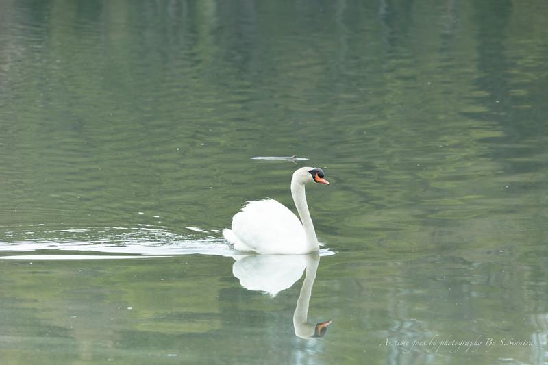 mute swan signed-40.JPG