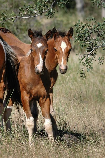 Side By Side Wild Horse Foals