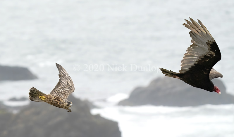 Peregrines in 2020