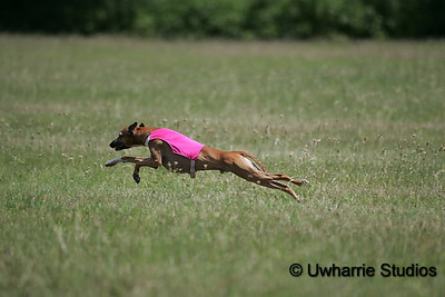 Italian Ice AKC IG only Coursing