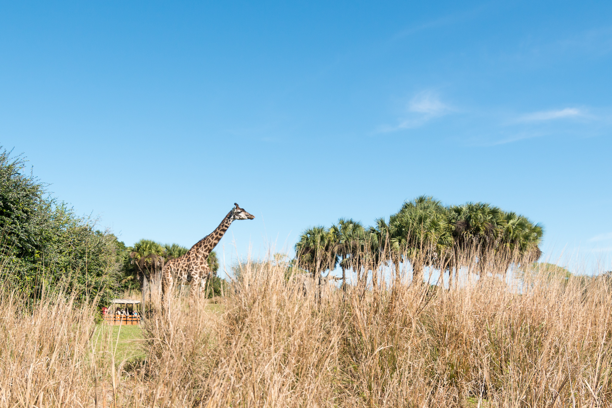 Disney's Animal Kingdom Giraffe