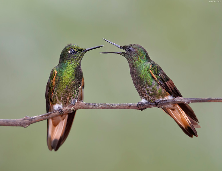 Buff-tailed Coronets