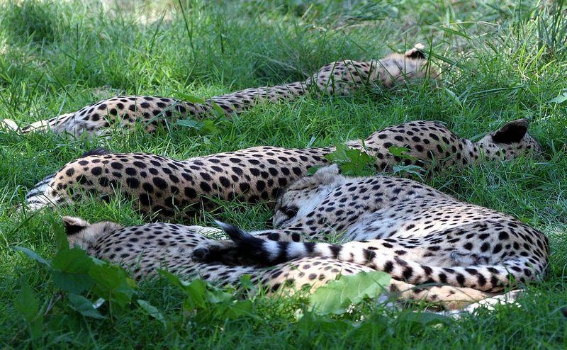 cheetas_napping.jpg
