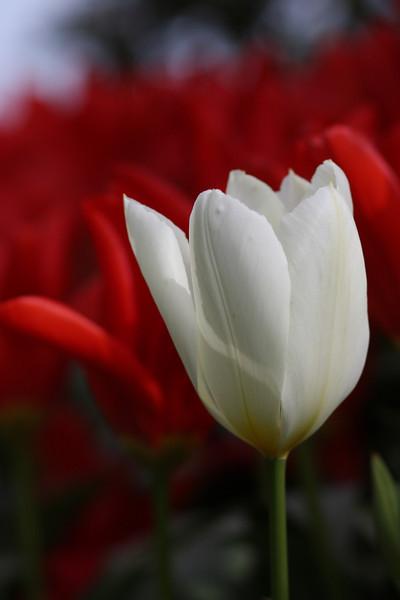 Tulips-2010 06.JPG