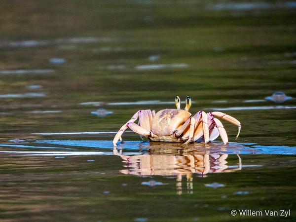 Ghost Crab (Ocypodinae family)