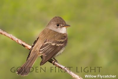 Willow Flycatcher, Malheur National Wildlife Refuge, USA