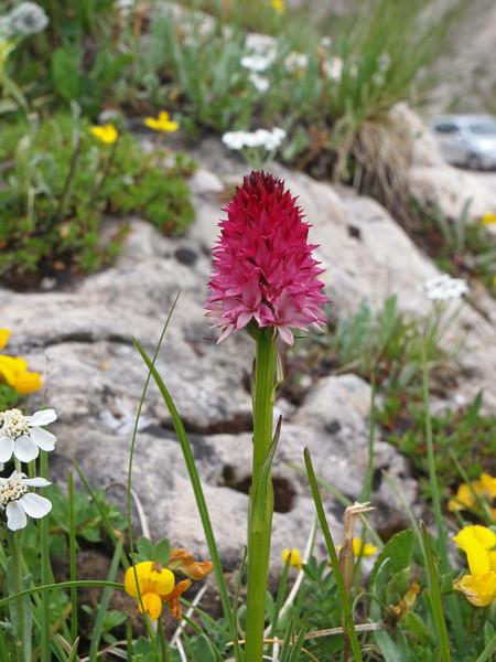 N. bicolor Passo Pordoi 07-07-14 (20).jpg