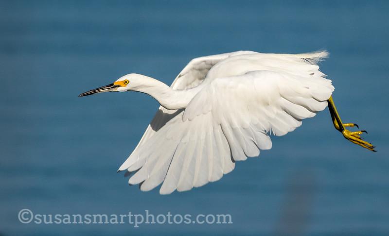 Snowy Egret in Flight