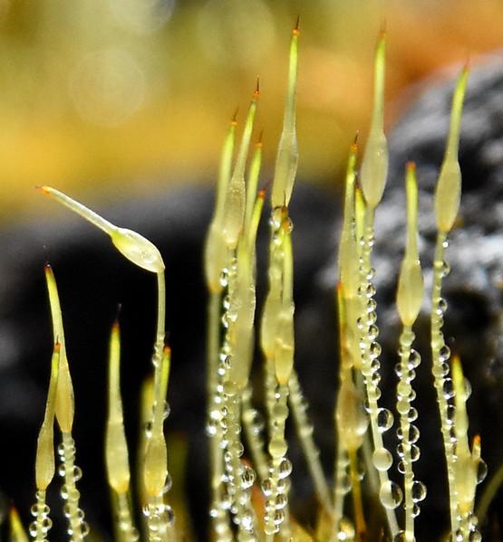 Moss-dew-wingfootlakeMarch12D.jpg