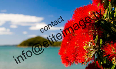 Close up of a pohutakawa tree in full bloom in the Bay of islands, New Zealand.