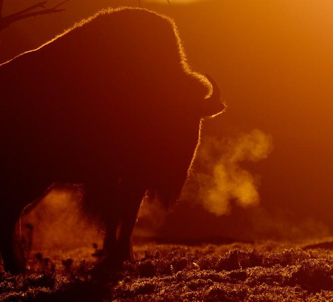 Bison backlit sunrise Teddy Roosevelt National Park ND IMG_5991.jpg