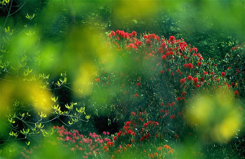 Red Azaleas, North Moss Wood