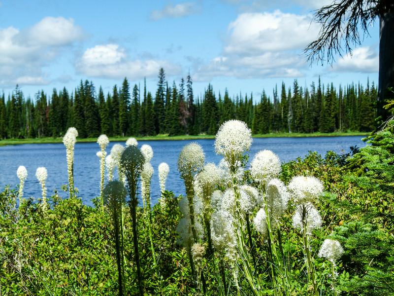 Bear grass on Lily Lake, Idaho