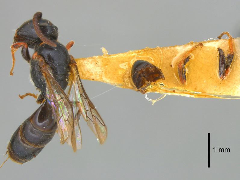 Hylaeus tuamotuensis