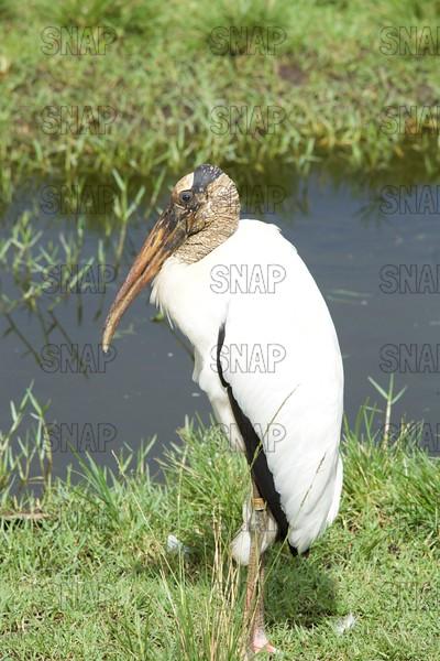 Wood Stork, Immature