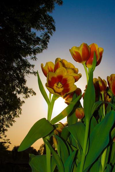 Tulips outdoor_03.jpg