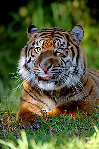 Siberian Tiger Wildlife Photography