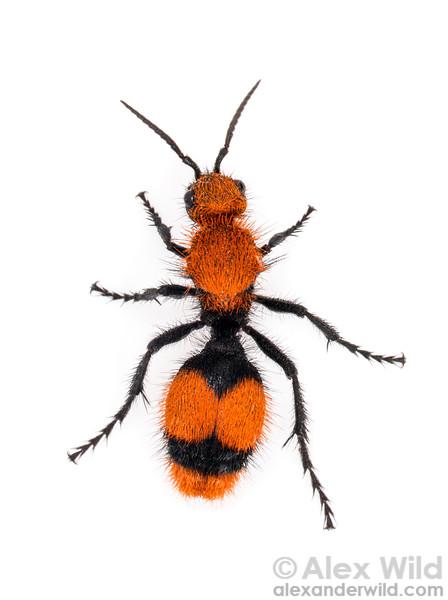 Dasymutilla occidentalis