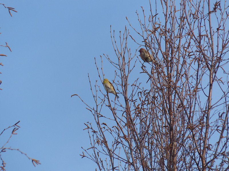 American Goldfinch (L), House Finch (R)