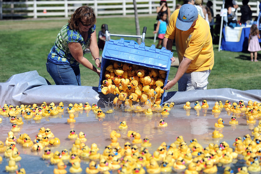 . Ducks are put in to the starting pond during the  Samuel Dixon Family Health Centers\' 11th annual Rubber Ducky Regatta at Bridgeport Park in Santa Clarita Saturday, October 5, 2013.  The event raises money for charity to help uninsured and underinsured patient care. (Photo by Hans Gutknecht/Los Angeles Daily News)