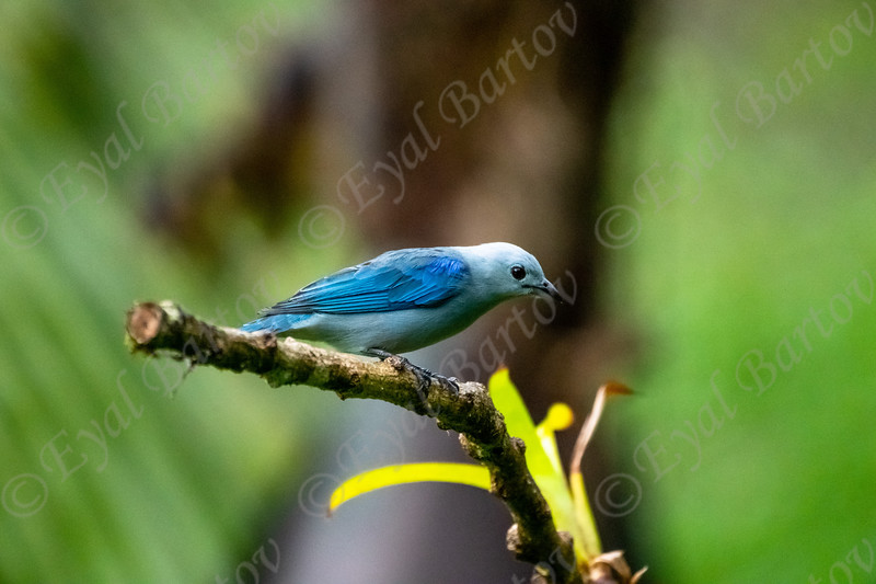 Blue- Gray Tanager (Thraupis episcopus)  EYL05196.jpg