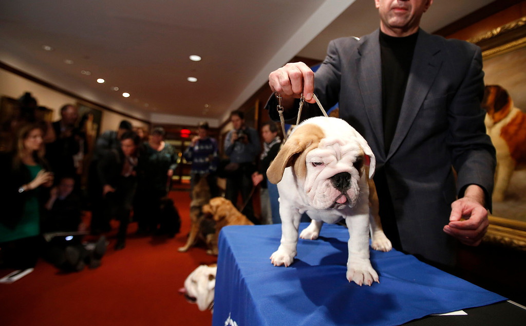 . Dominique, a 14-week-old bulldog, doesn\'t appear much impressed by the news that bulldogs have moved into the No. 5 spot for the first time. (REUTERS/Carlo Allegri)