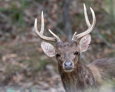 Rusa deer (Cervus timorensis)