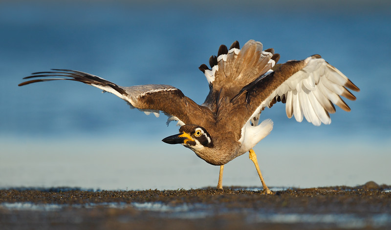 Beach Stone Curlew Display MASTER.jpg