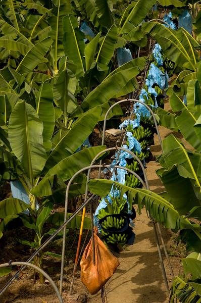 Costa Rica_Bananas-1.jpg
