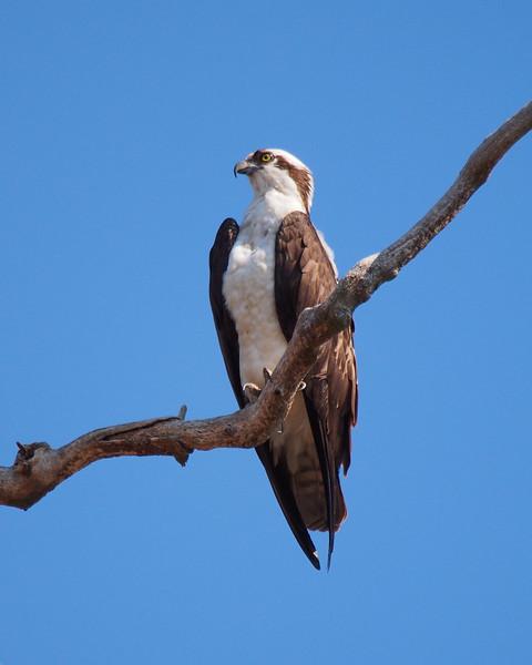 Osprey, male