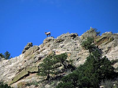 2013-09-17 Bighorn Sheep