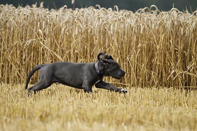 """Deutsche Dogge """"Hannes"""""""