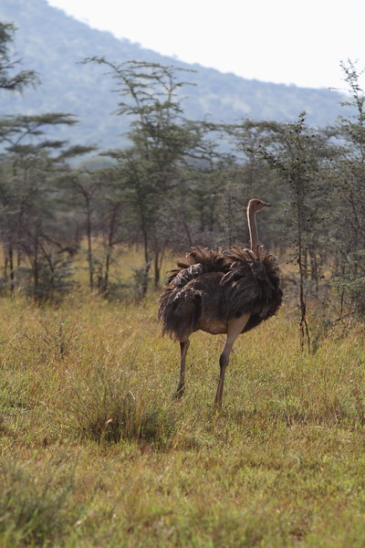Female Ostrich.JPG