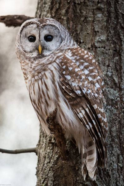 Barred Owl - Looking At You