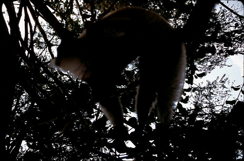 At Perinet Reserve..an Indri (the largest lemur) high in a tree