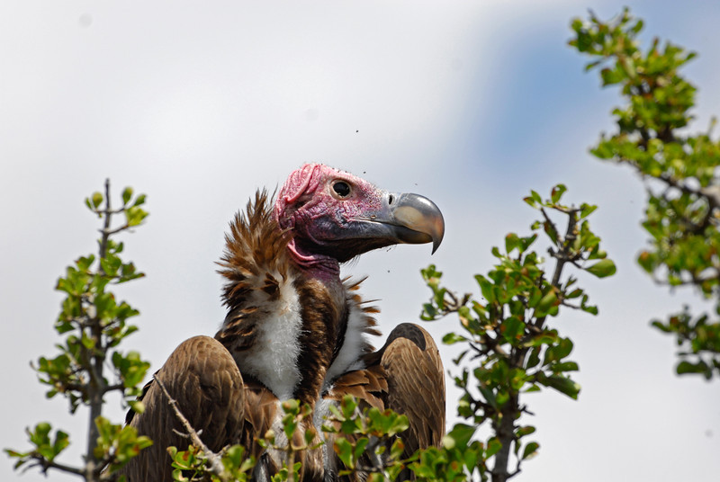 Lappet-faced Vulture.JPG