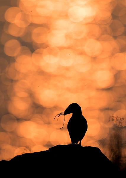 Puffin silhouette.jpg