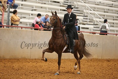 48. Open English Pleasure Champ - Saddle Seat or Hunt. Any Breed