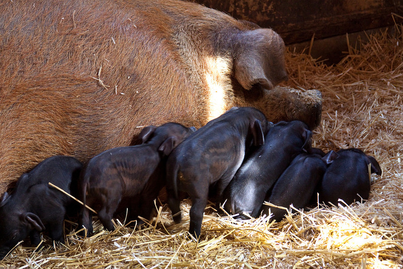 Piglets and mom.jpg