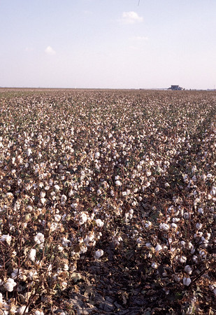 Cotton Field, Tulare Lake, California, USA