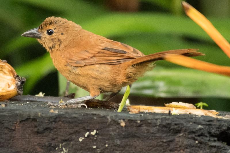 19-Sept Costa Rica Birds-1249.JPG